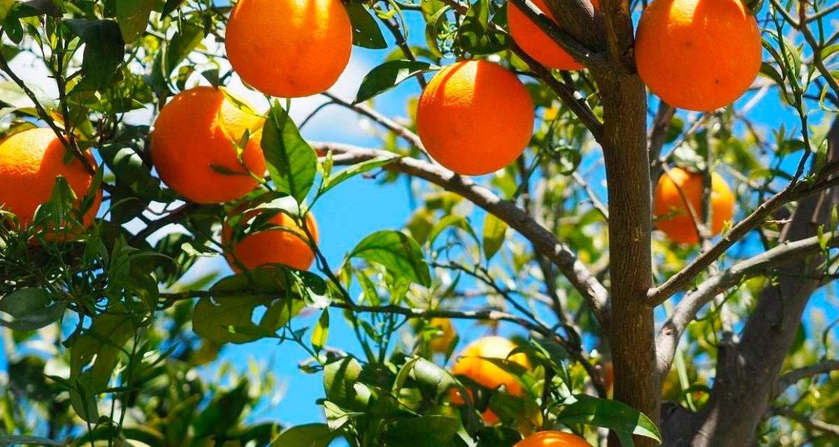 Naranjas para todas antes de que llegue el invierno